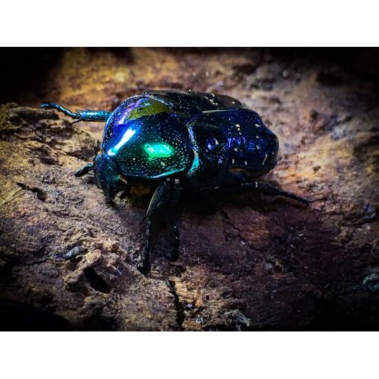 Protaetia Inquinata -blue...